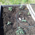 May garden update: Seedlings!