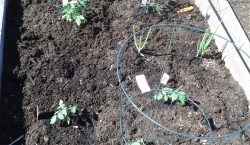 Seedlings, grow your own, home gardening, home garden