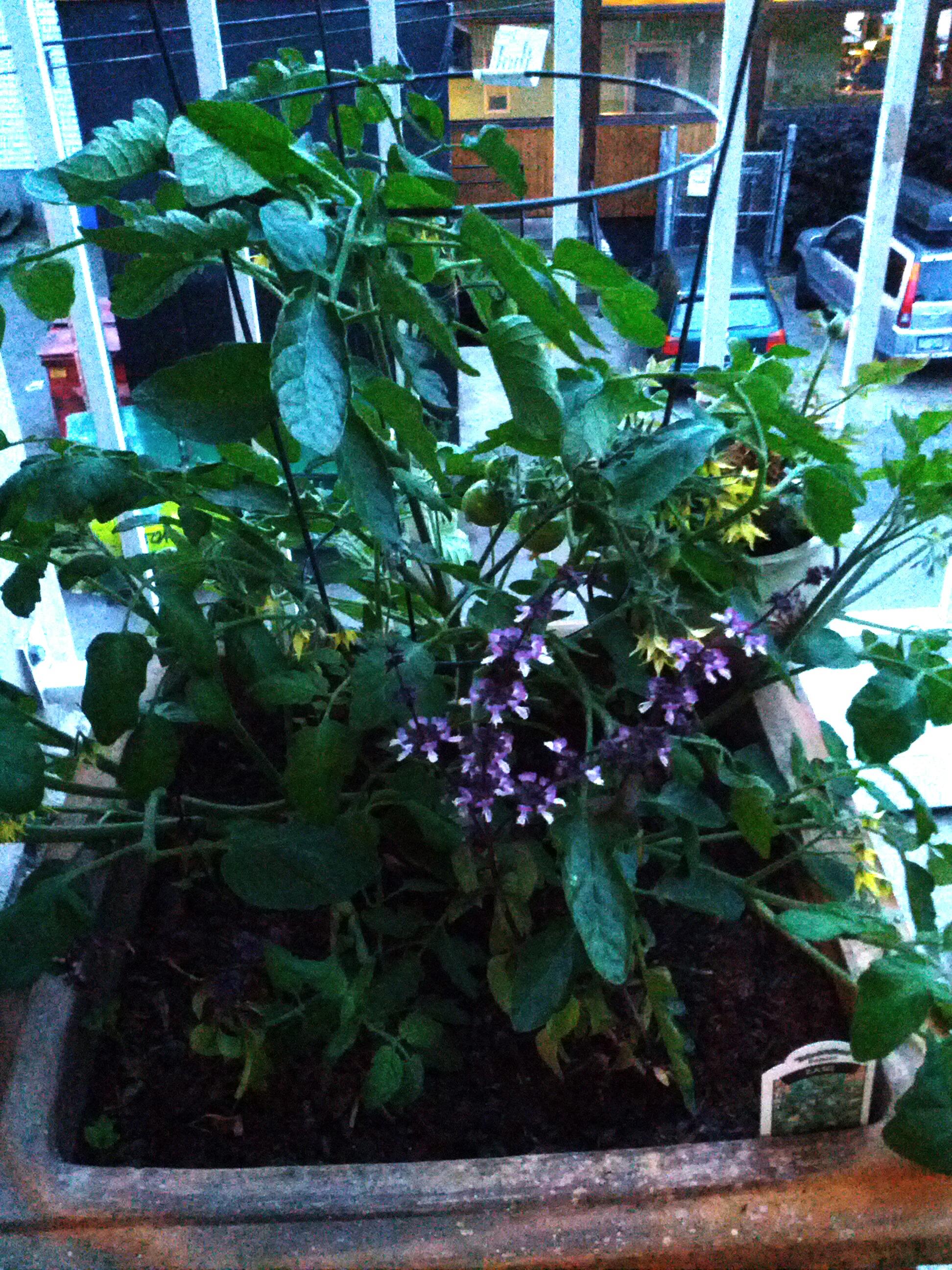 Community Garden, balcony garden, garden update, taking care of plants, tips on growing plants