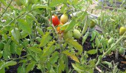 Garden Update, homegrown, gardening at home, gardening